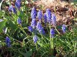 Miniature grape hyacinth in the side garden