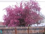 Neighbors Christine and Todd's gorgeous crabapple over back fence